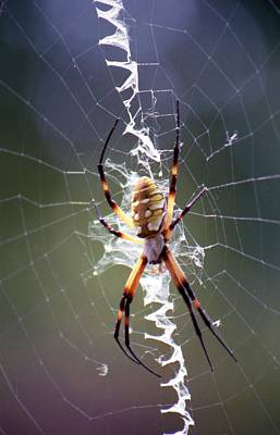 Photograph - Spider - Black And Yellow Argiope 01 by Pamela Critchlow