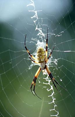 Photograph - Spider - Black And Yellow Argiope 03 by Pamela Critchlow