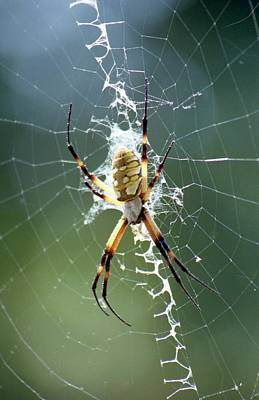 Photograph - Spider - Black And Yellow Argiope 04 by Pamela Critchlow