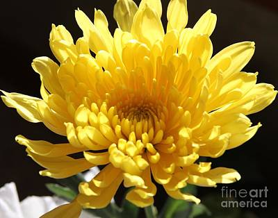 Mums Photograph - Spider Chrysanthemum by Cathy Lindsey