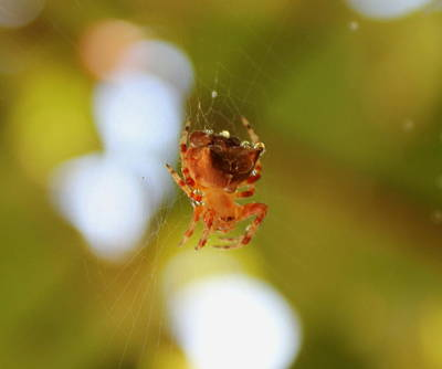 Photograph - Spider Covered In Dew by Trent Mallett