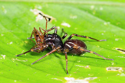 Feeding Photograph - Spider Feeding On An Ant by Dr Morley Read