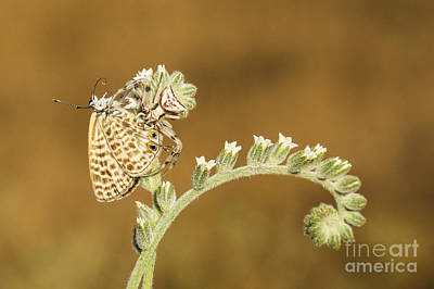 Butterfly Prey Photograph - Spider Feeds On A Butterfly 3  by Alon Meir