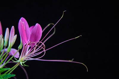 Cleome Photograph - Spider Flower by Douglas Barnett