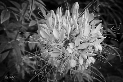 Cleome Digital Art - Spider Flower by Phill Doherty