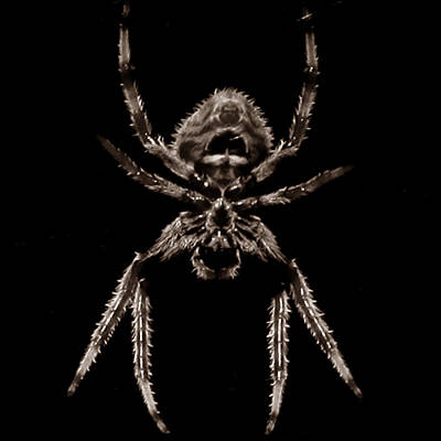 Photograph - Spider by Joseph G Holland