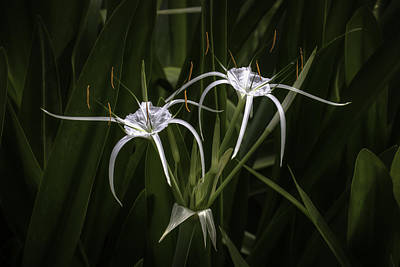 Photograph - Spider Lily by Brad Grove