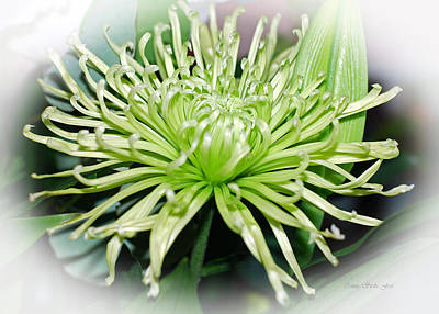 Photograph - Spider Mum Flower In Lime Green by Connie Fox