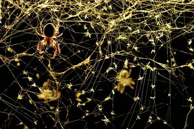 Spiderweb Photograph - Spider On A Web Covered In Flies by Thierry Berrod, Mona Lisa Production/ Science Photo Library