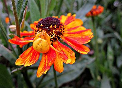 Photograph - Spider On Helenium by MTBobbins Photography