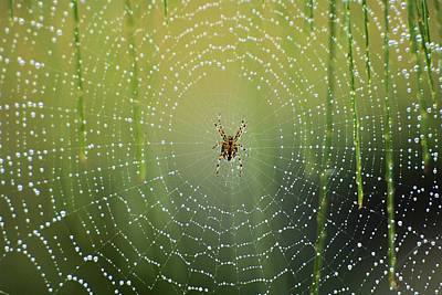 Spider On Wet Web (large Format Sizes Art Print by Peter Skinner