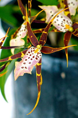 Art Print featuring the photograph Spider Orchid by Lehua Pekelo-Stearns