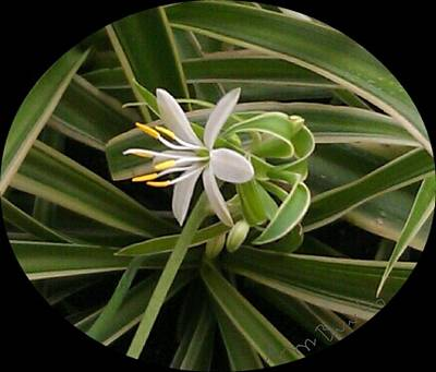 Caravaggio - Spider Plant Flower and Babies  by Peggy Beverley