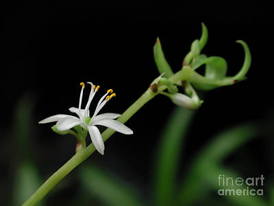 Photograph - Spider Plant Flower Chlorophytum by Kathi Shotwell