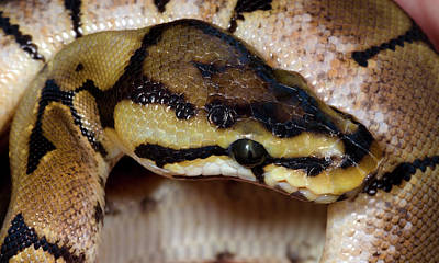 Burmese Python Photograph - Spider Royal Python by Nigel Downer