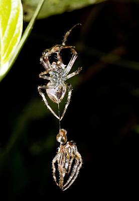Ecuadorean Fauna Photograph - Spider Shedding Its Skin by Science Photo Library