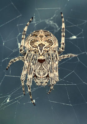 Spider Art Print by Sinclair Stammers/science Photo Library