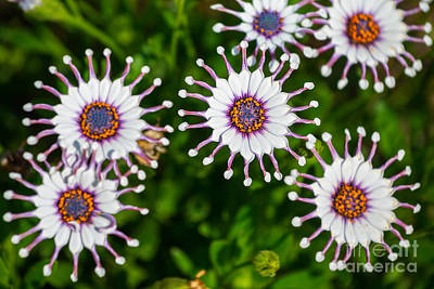 Spider Whites - Spring Flowers In Bloom. Art Print