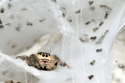 Photograph - Spiderlings And Mother In Nest by Scott Linstead