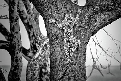 Leopard Wall Art - Photograph - Spiderman by Nicol?s Merino