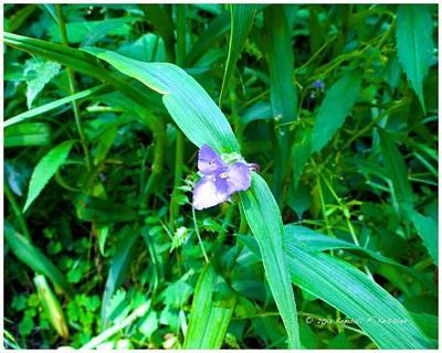 Photograph - Spiderwort Flare by Kendall Kessler