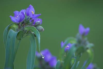 Photograph - Spiderwort Flowers by Bernard Lynch