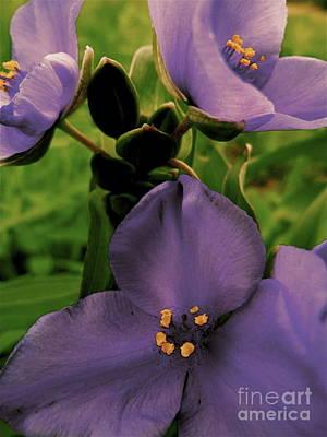 Fleetwood Mac - Spiderwort Flowers by Photography by Tiwago