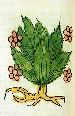 Spikenard Medicinal Plant Art Print by National Library Of Medicine