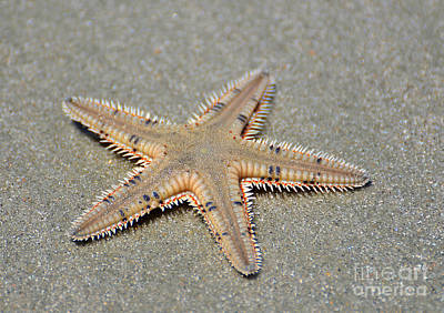 Photograph - Spikey Sea Star by Kathy Baccari