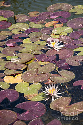 Photograph - Florescent Waterlilies by Brenda Kean