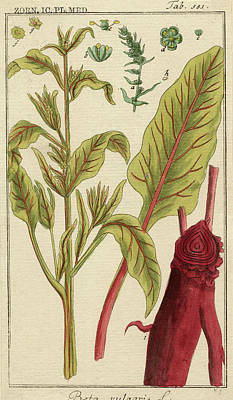 Spinach Wall Art - Photograph - Spinach Beet by Natural History Museum, London/science Photo Library