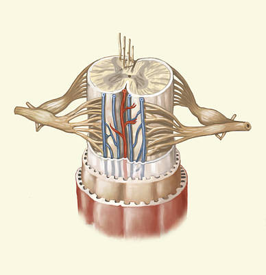 Photograph - Spinal Cord Anatomy, Illustration by Spencer Sutton