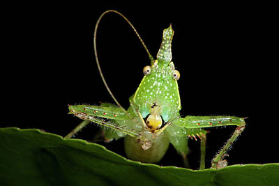Katydid Photograph - Spine-headed Katydid Nymph, Yasuni by Pete Oxford