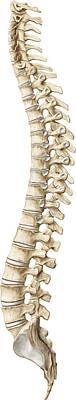 Photograph - Spine, Illustration by QA International