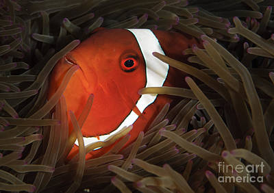 Spinecheek Anemonefish, Gorontalo Art Print by Steve Jones