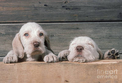 Photograph - Spinone Puppies by John Daniels