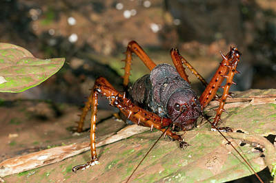 Katydid Photograph - Spiny Lobster Katydid by Dr Morley Read