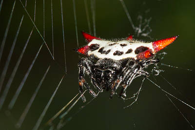 Photograph - Spiny Orb Weaver by Paul Rebmann