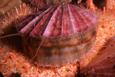 Photograph - Spiny Pink Scallop by Nancy Sefton