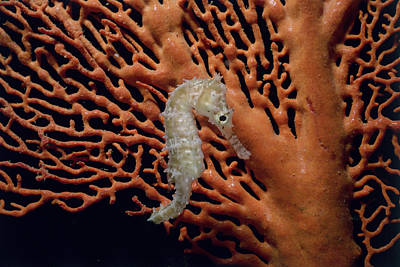Spiny Sea Horse On Gorgonian Coral Art Print