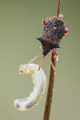 Feeding Photograph - Spiny Shieldbug Feeding by Heath Mcdonald