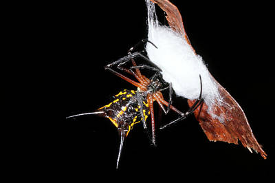 Orb Weaver Spider Photograph - Spiny Spider Wrapping Eggs In Silk by Dr Morley Read