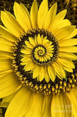 Sunflower Photograph - Spiral Sunflower by Oscar Gutierrez