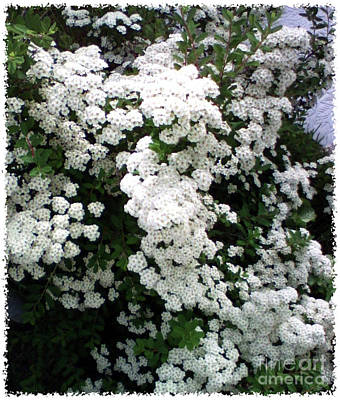 Art Print featuring the photograph Spirea Bridal Veil by Barbara Griffin