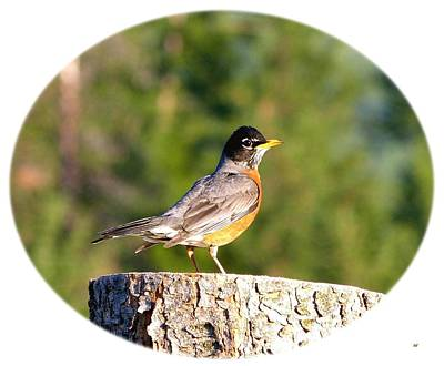 Photograph - Spirited Robin by Will Borden