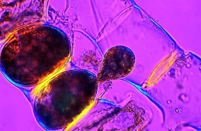Alga Photograph - Spirogyra Algae by Dr Keith Wheeler
