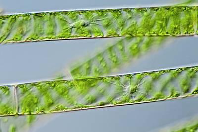 Spirogyra Green Alga Print by Gerd Guenther