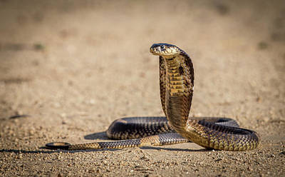 Spitting Cobra In Strike Pose. Art Print