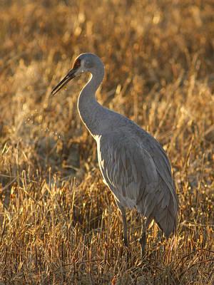 Photograph - Spitting Sandhill Crane by Jean Noren