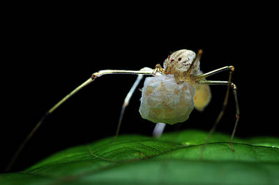 Huntsman Spider Photograph - Spitting Spider With Eggs by Melvyn Yeo